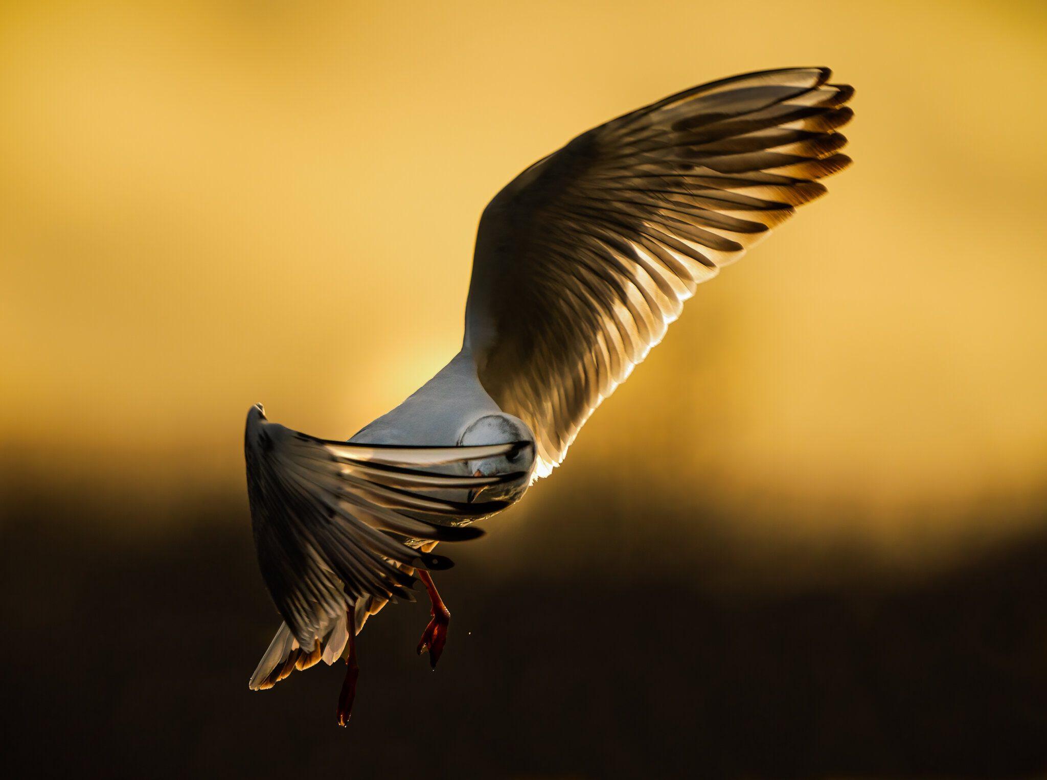 Black Headed Gull_.jpg