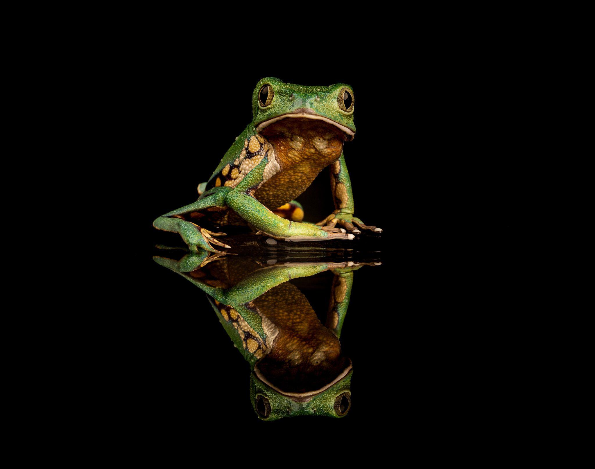 Brazilian Walking Tree Frog.jpg