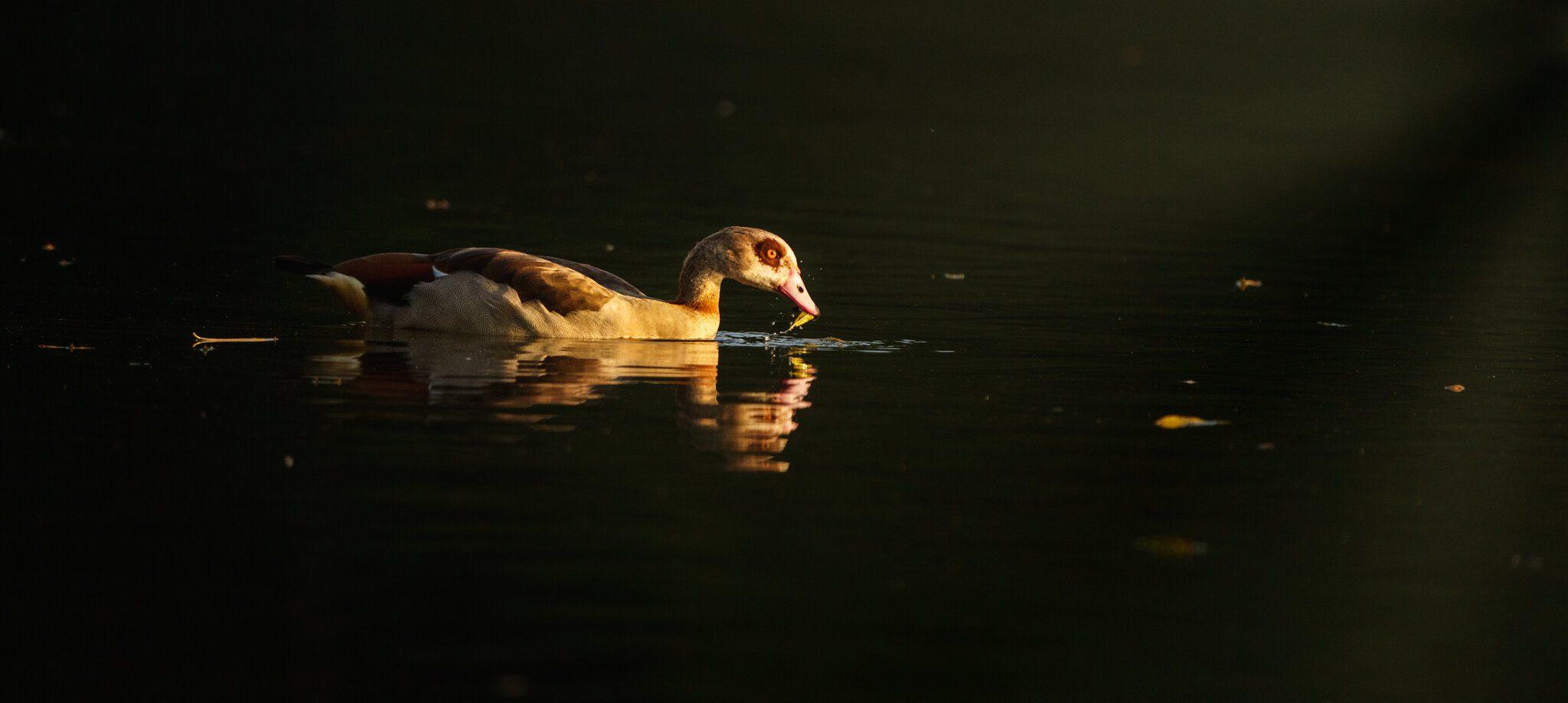 Egyptian Goose_.jpg