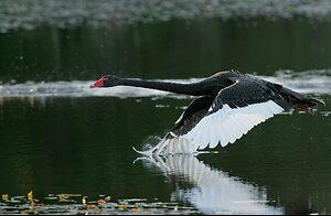 Black Swan IF (1).jpg