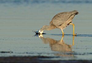White-faced Heron (5).jpg