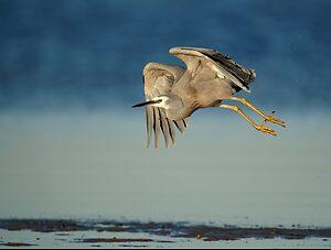 White-faced Heron IF (9).jpg