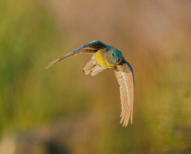 Red-rumped Parrot IF Janefield (89).jpg
