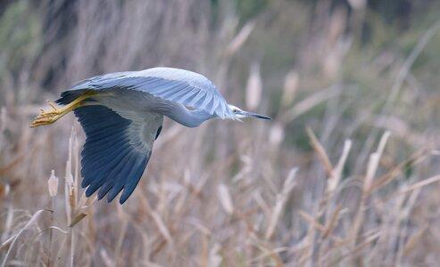 White-faced Heron IF (2)-1.jpg