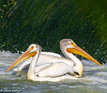 PelicansHorn061518N-655695.jpg