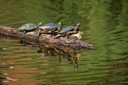 Three Turtles On a Log.jpeg