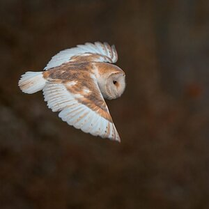 Frosty Morning Barn Owl