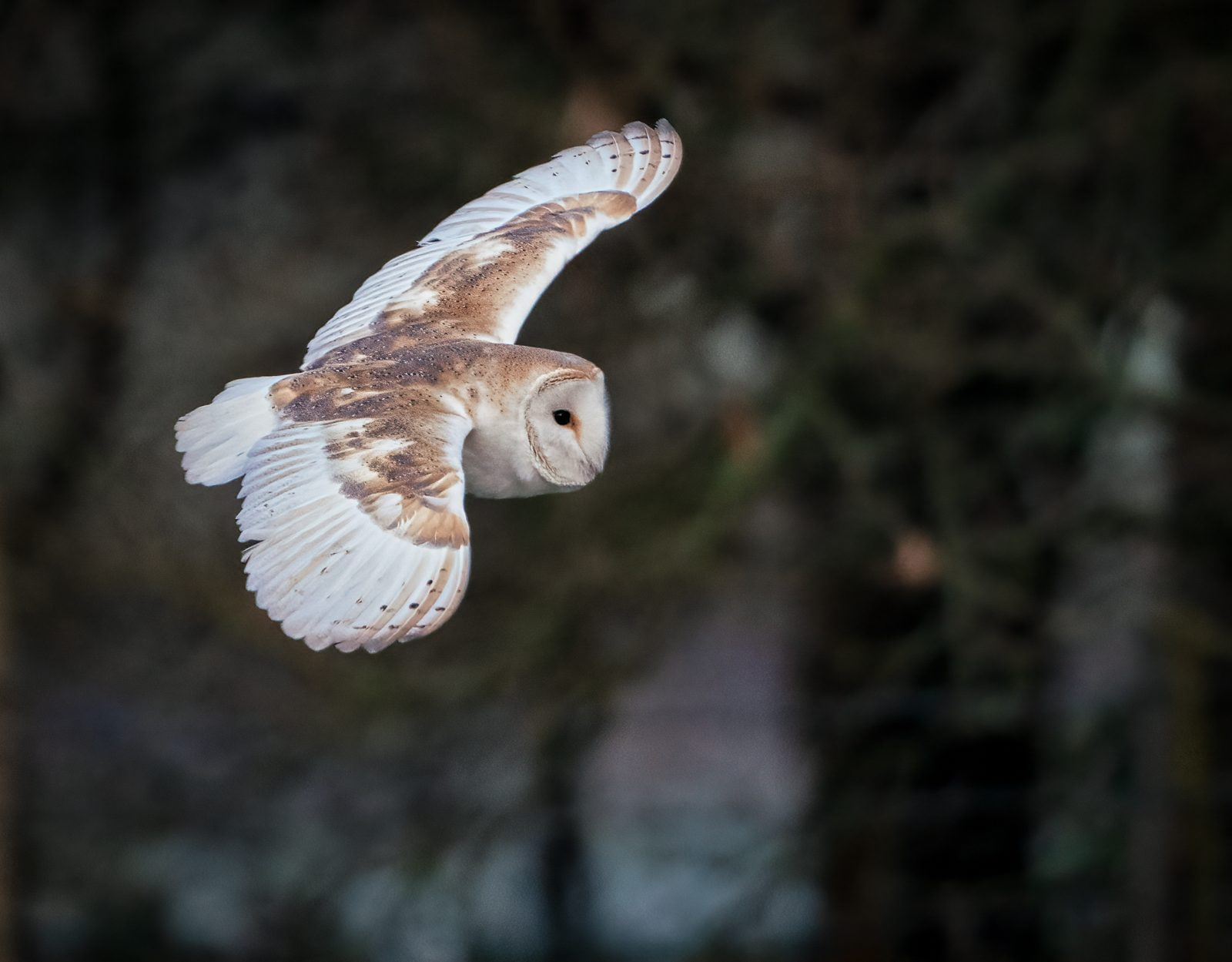 Frosty Morning barnowl