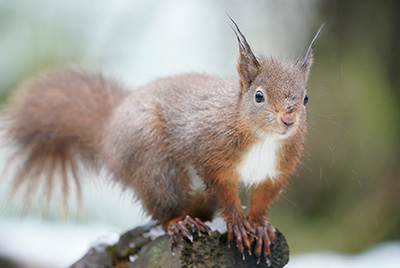 Sony a7R III vs The Red Squirrel
