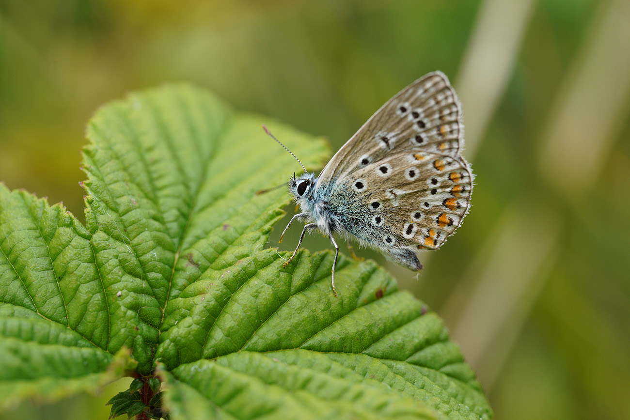 common blue sigma 70mm macro
