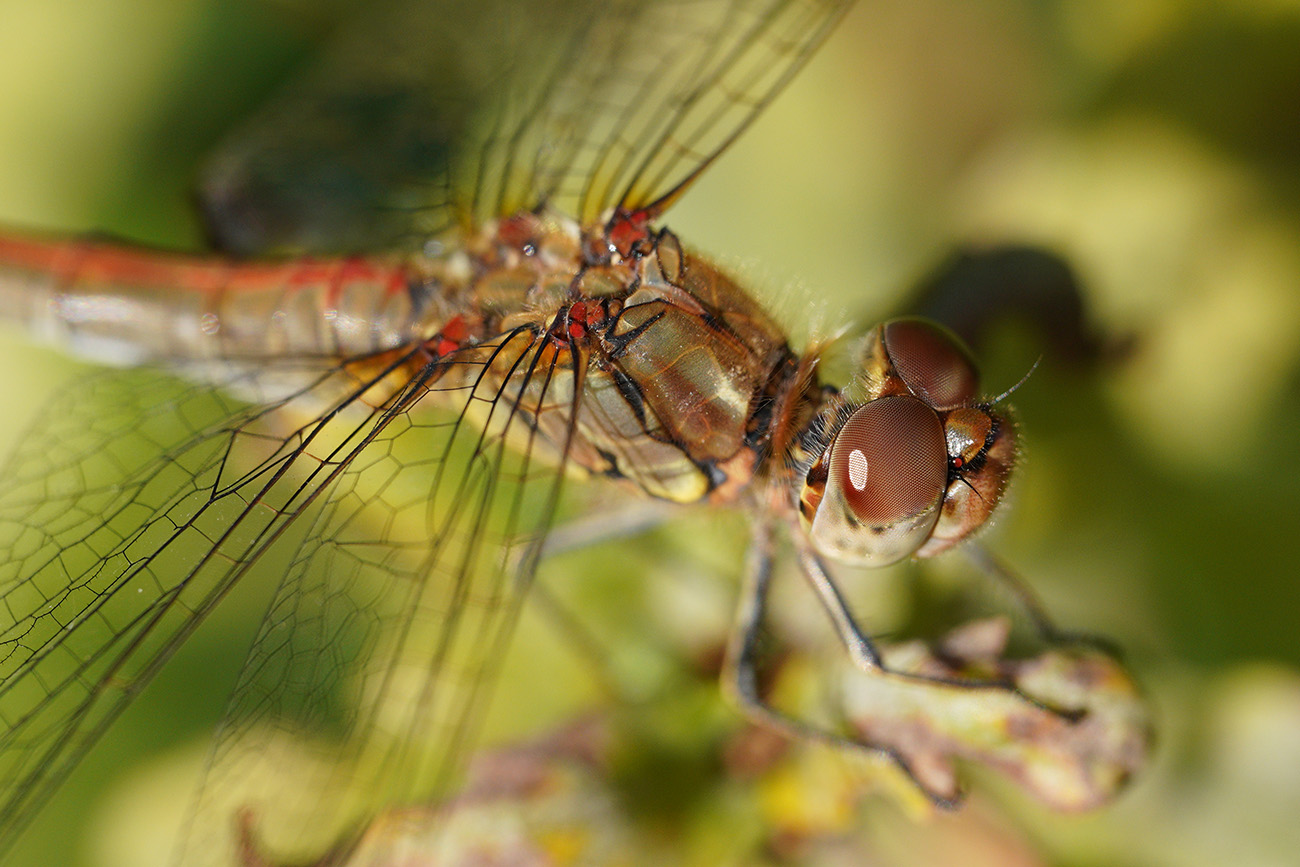 common darter sigma 70mm macro