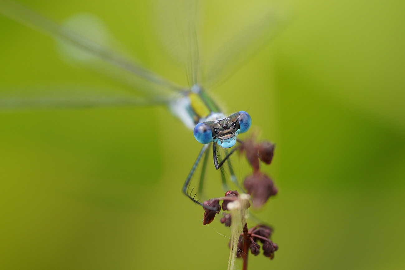 damselfly sigma 70mm macro