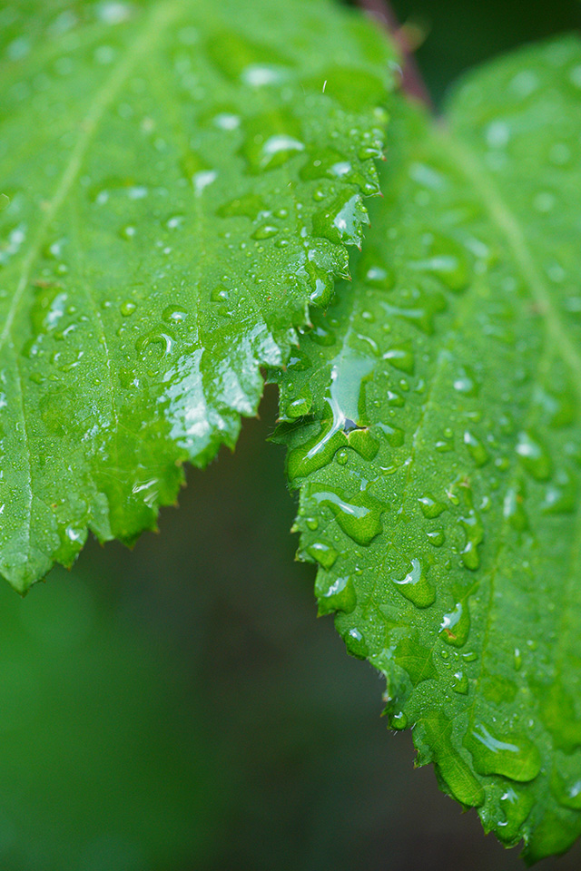 wet leaves sigma 70mm macro