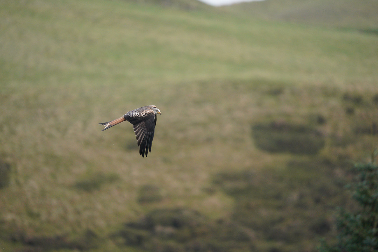 Red Kite Sigma 60-600 Sample Image Sony A9