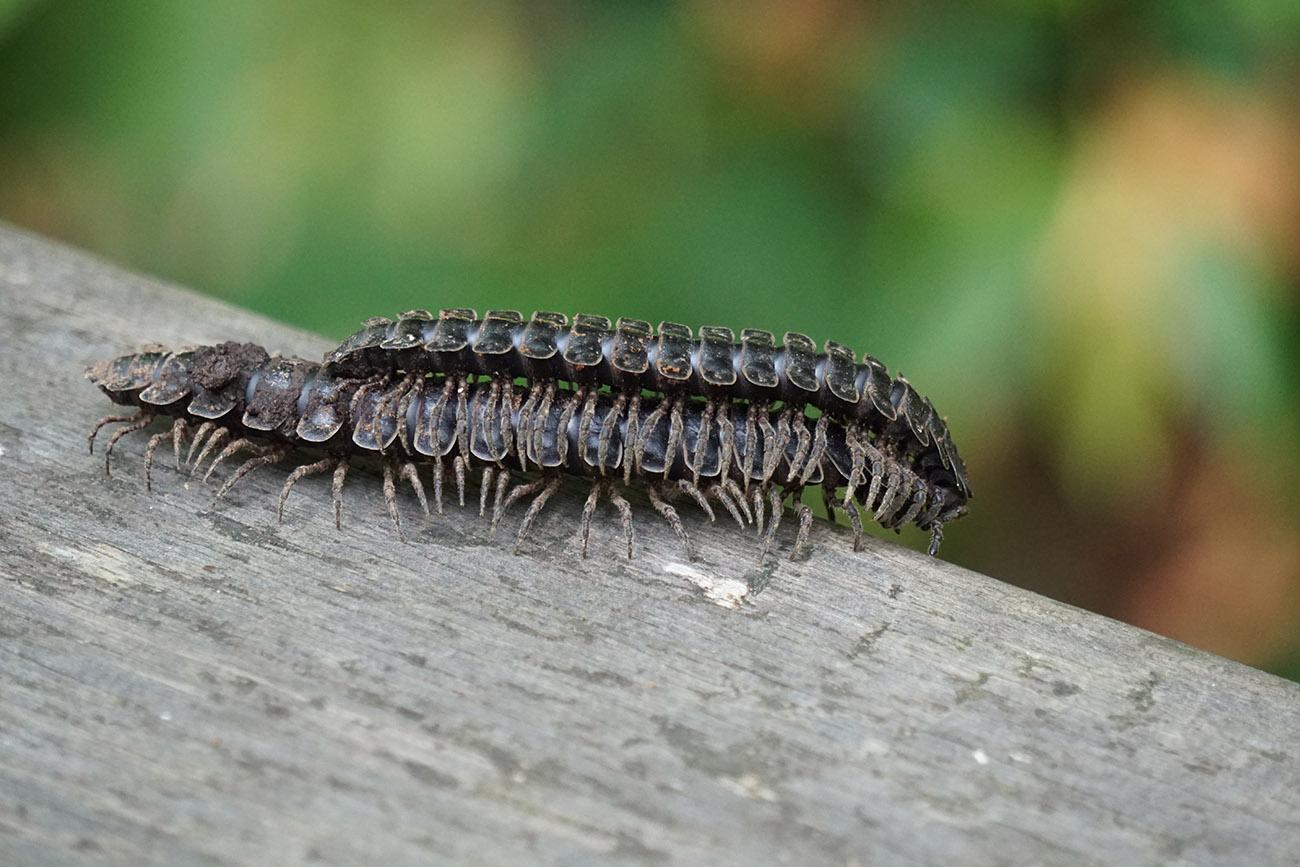 sony sel55210 centipede borneo