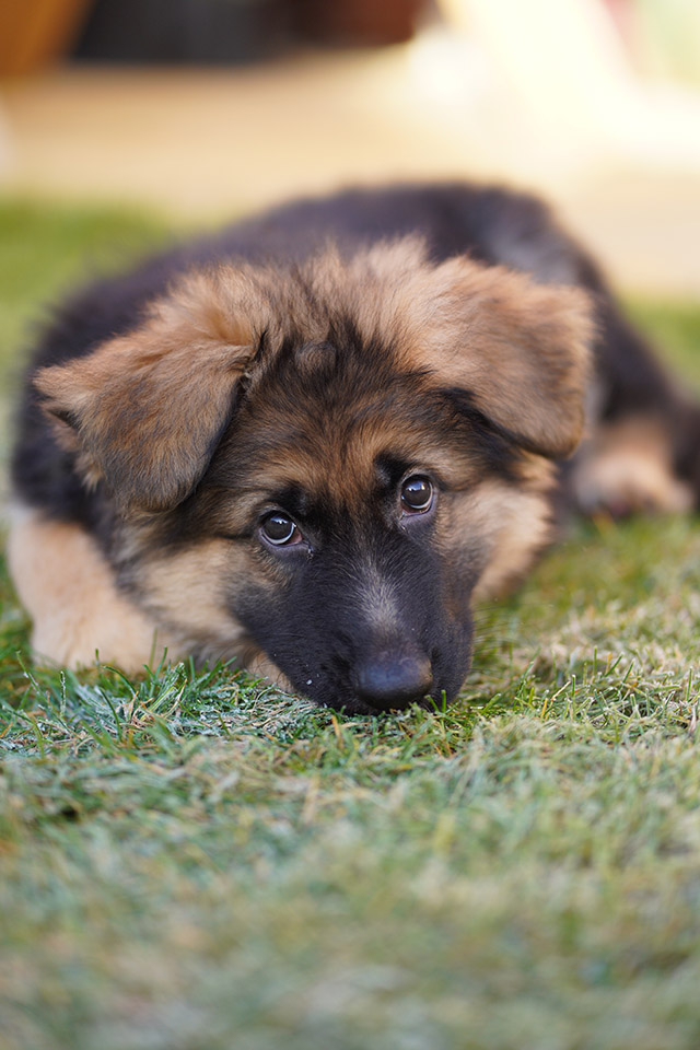 sony a7iii sample image gsd puppy