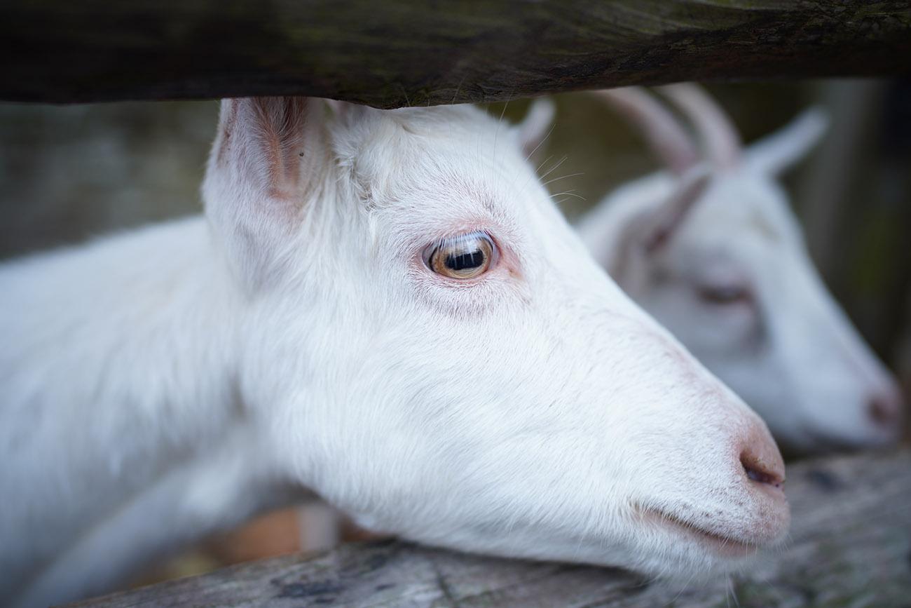 sony a7riii lenses 24mm gm goat