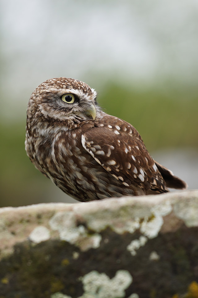 sony a6400 sample little owl 70-200 f4