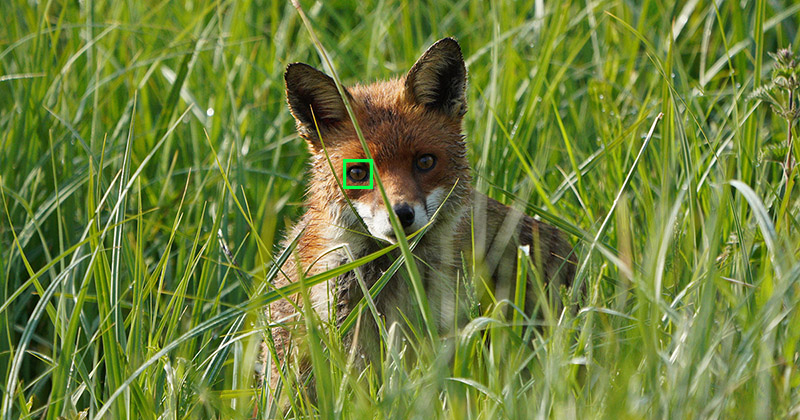 sony animal eye af fox