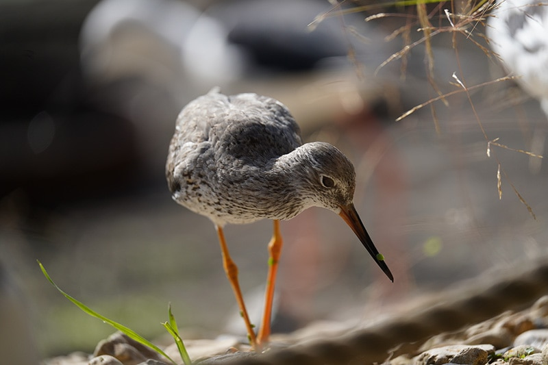 redshank shot with Sony FE 200-600