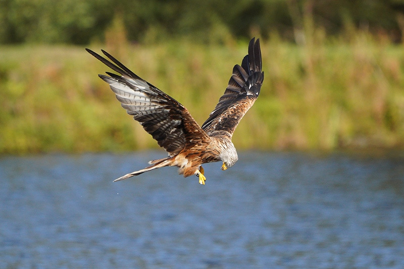 red kite shot with Sony FE 100-400 + 1.4x