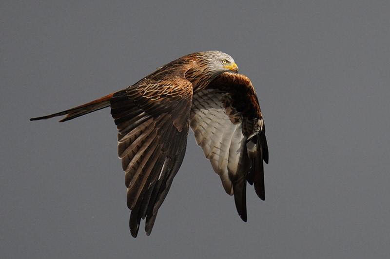 sony 200-600 red kite a7riv