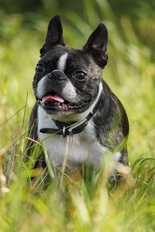 Sony 70-350 Sample Image Boston Terrier