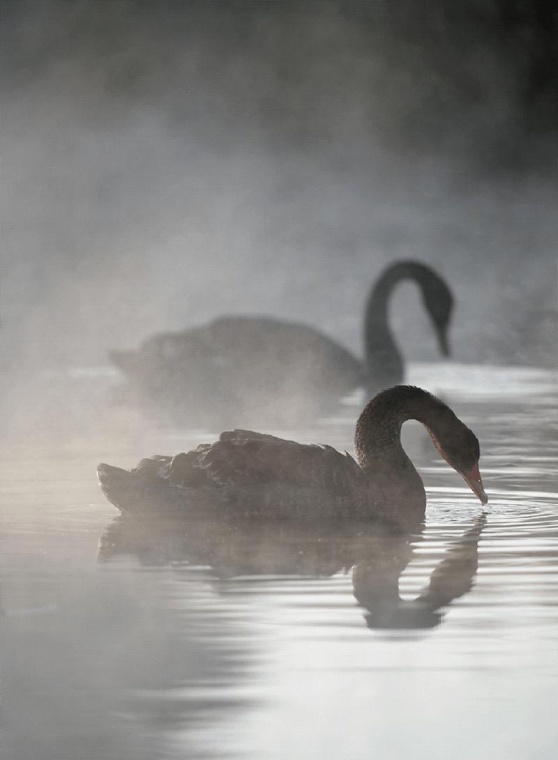 ern reeders black swans