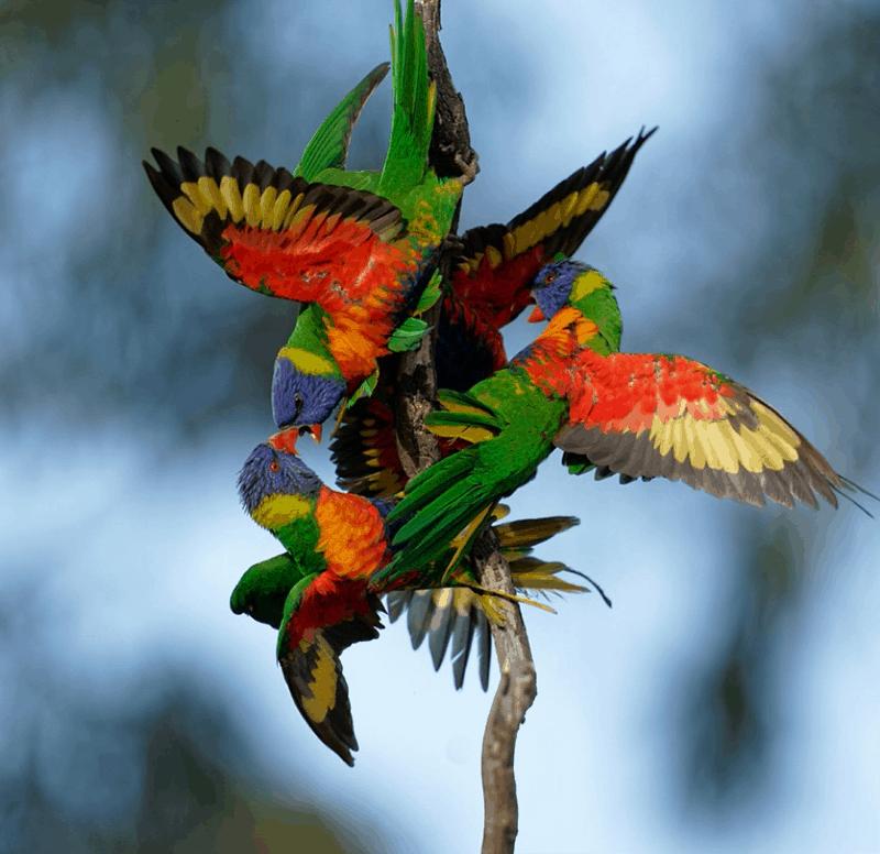 ern reeders rainbow lorikeets