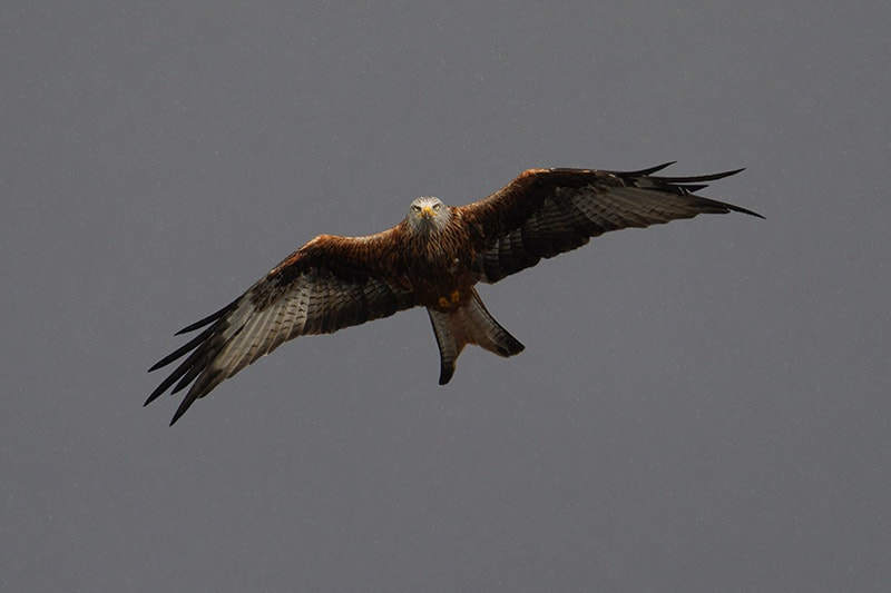 Sony a7RIV Sample Image Red Kite in Flight with Rain