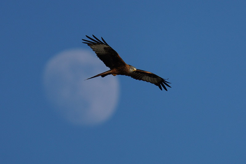 Sony a7RIV Sample Image Red Kite Moon