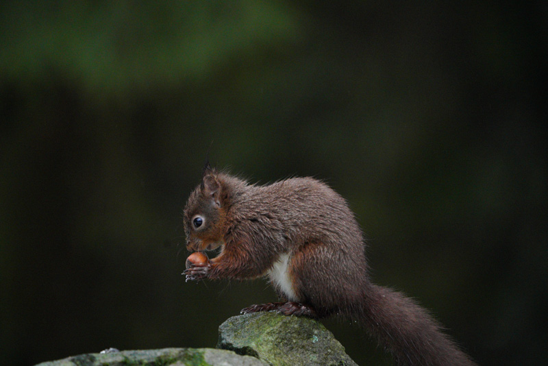 Red Squirrel taken with the Sony a7R III and SEL100400GM lens