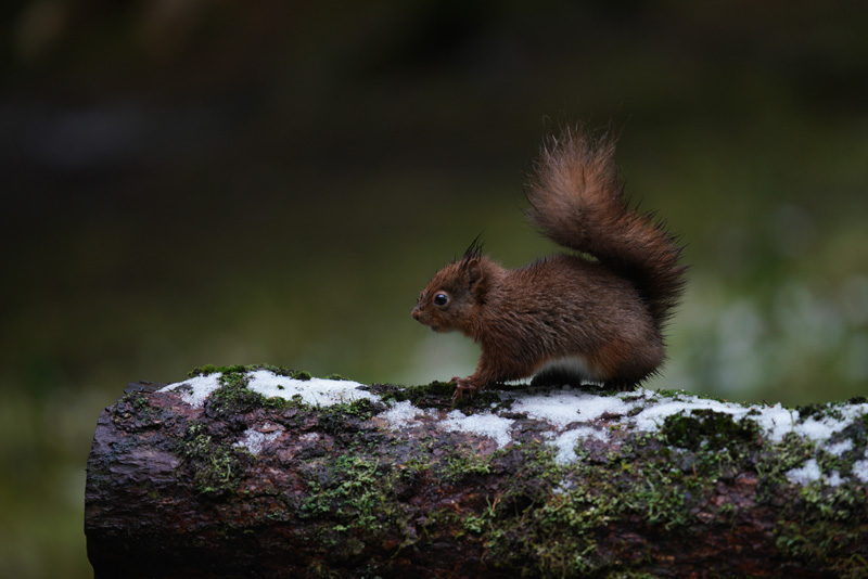 Red Squirrel taken with the Sony a7R III and SEL70200GM + SEL14TC
