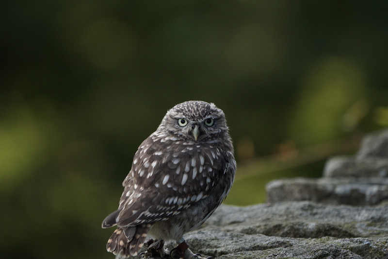 Little Owl taken with Sony a6500 and SEL100400GM Lens