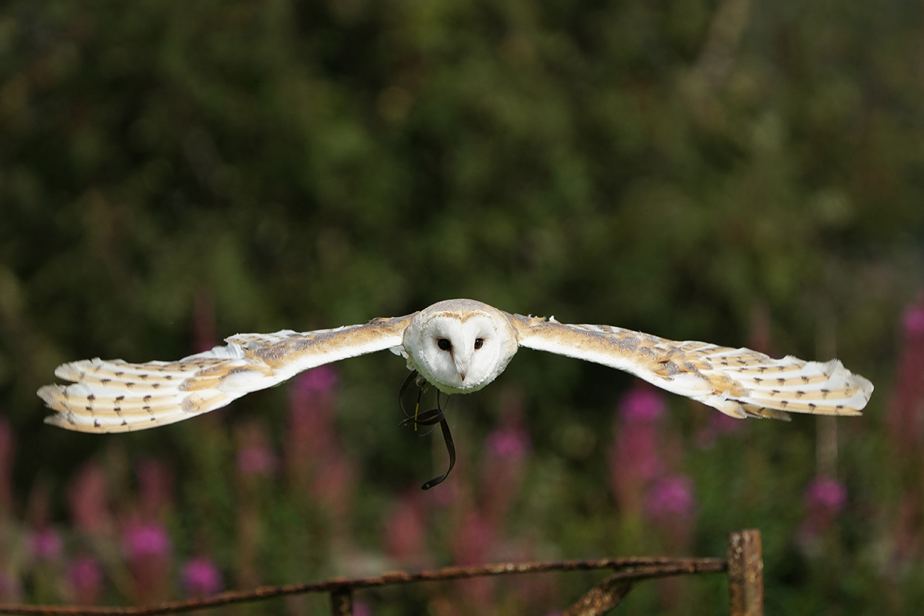 Barn Owl shot with the Sony SEL100400GM lens