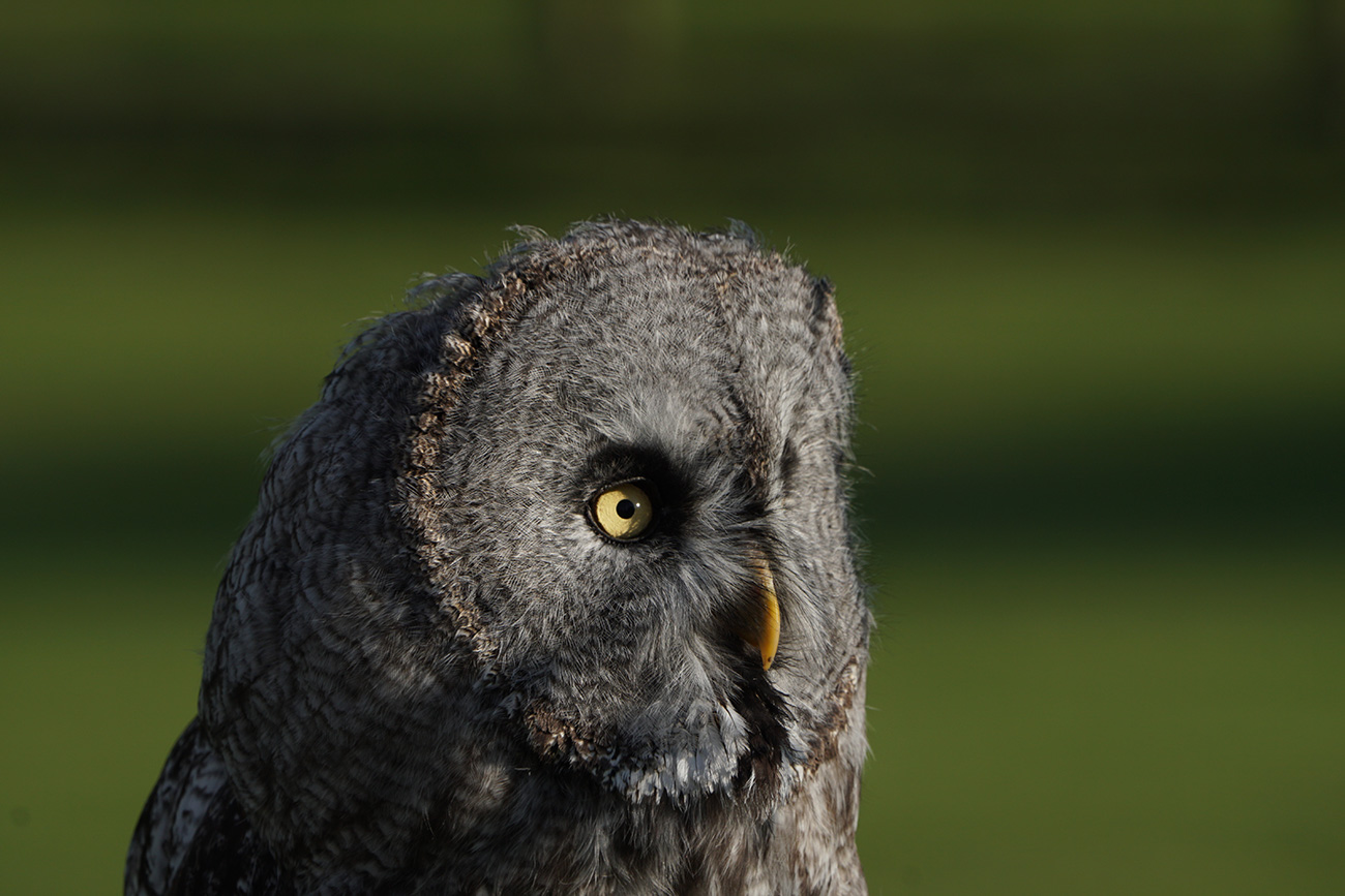 Grey Owl shot with the Sony SEL100400GM lens