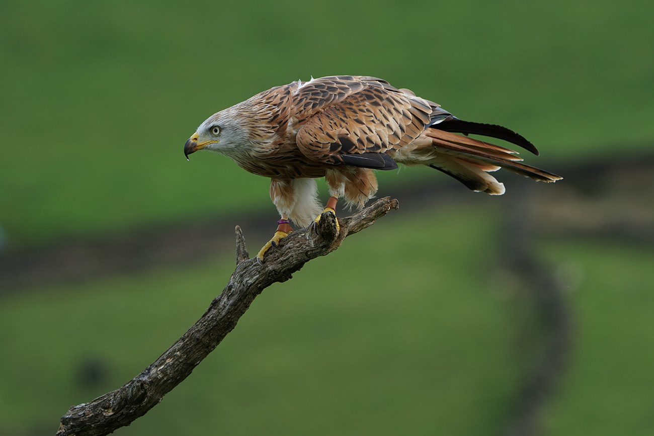 Red Kite shot with the Sony SEL100400GM lens