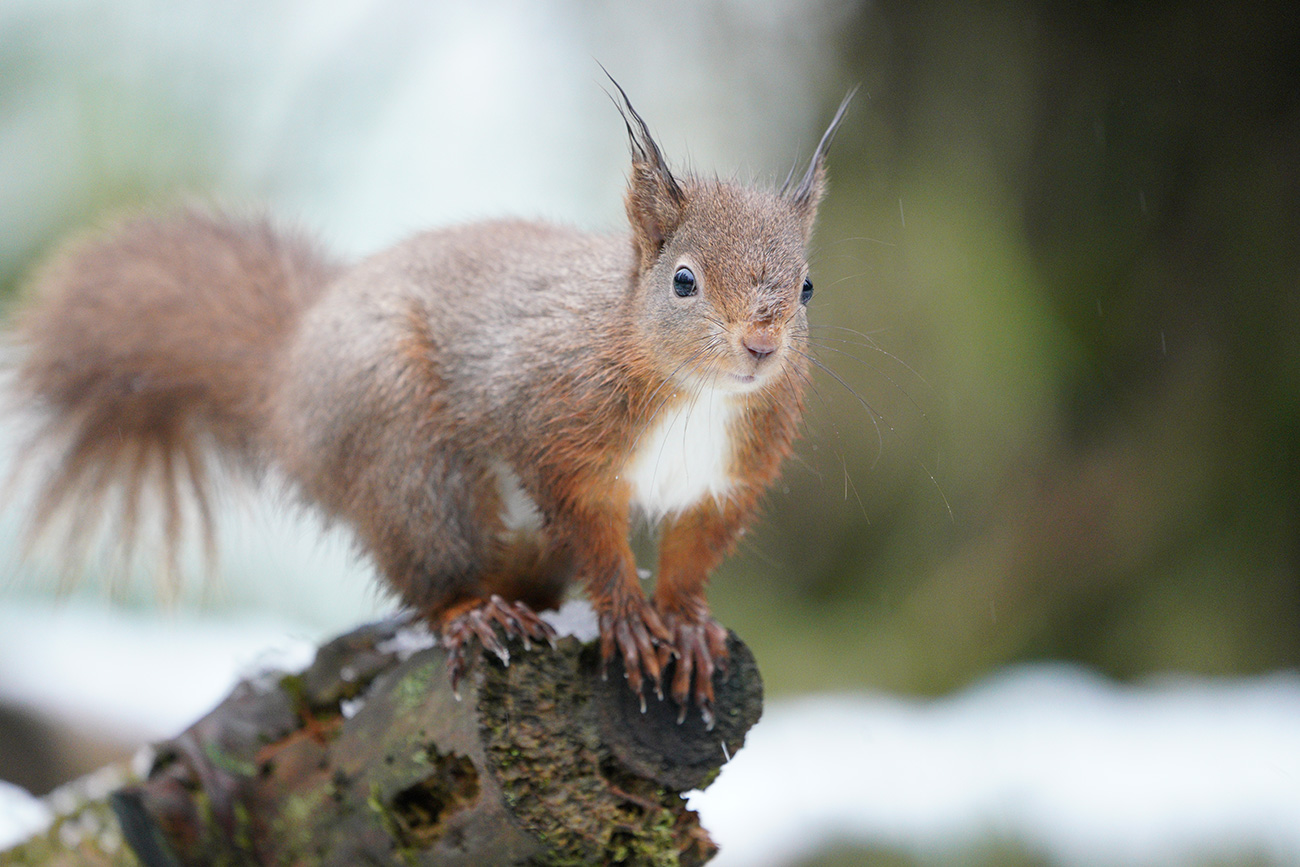 Red Squirrel shot with the Sony SEL100400GM lens