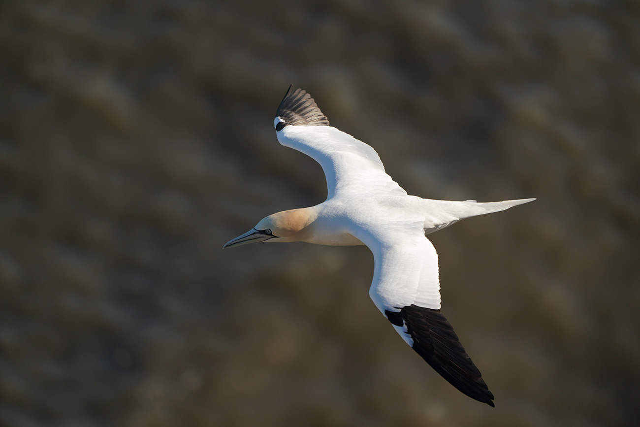 Northern Gannet shot with the Sony SEL100400GM lens
