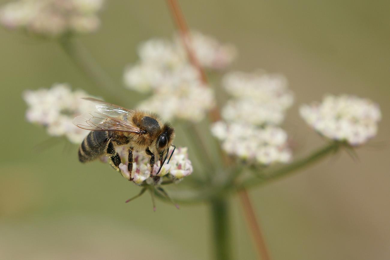 sel100400gm bee macro