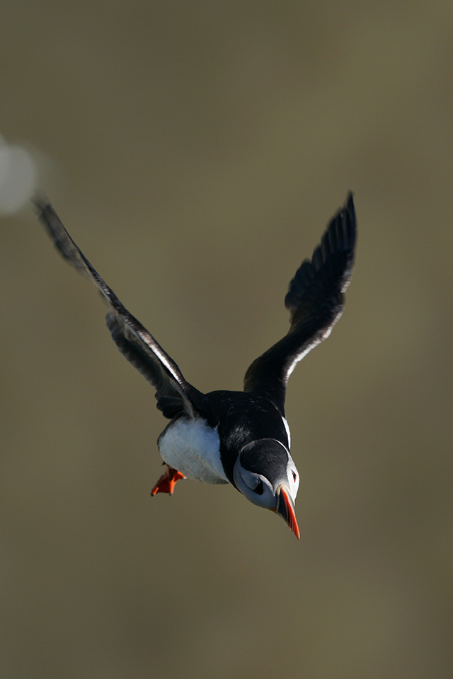 Puffin shot with the Sony SEL100400GM lens