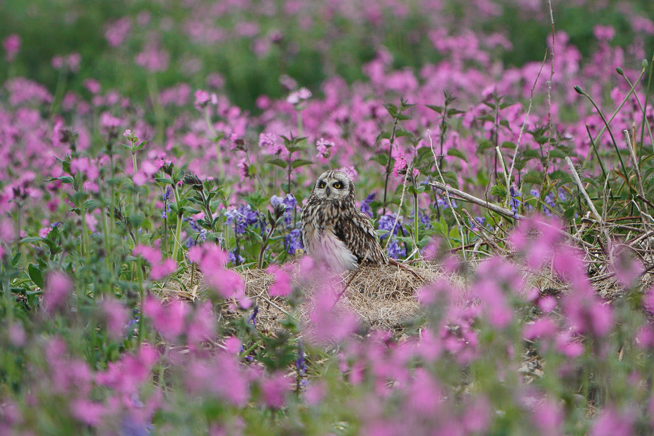 Short eared owl shot with the Sony SEL100400GM lens