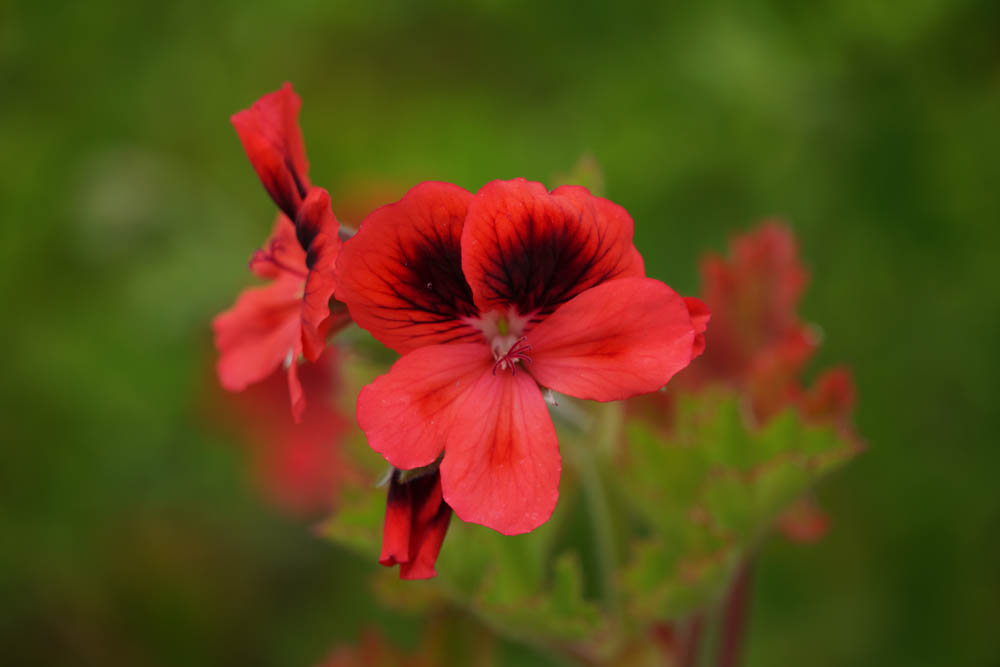 Sony SEL18135 Sample - Red Flowers La Gomera