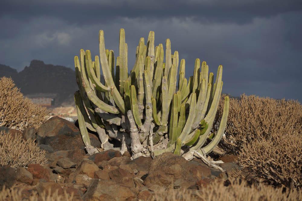 Sony SEL18135 Sample - Cactus Tenerife