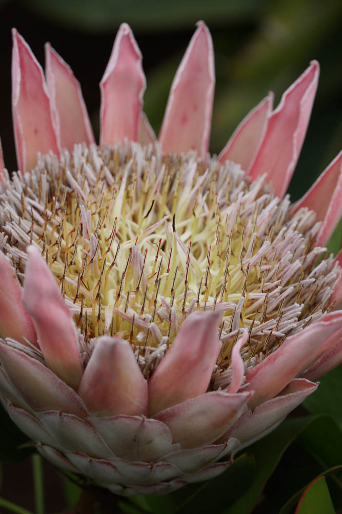 Sony SEL18135 Sample - Protea Plant