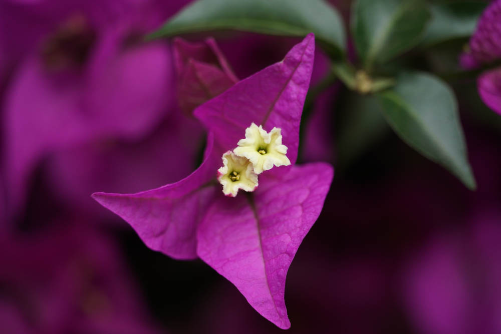 Sony SEL18135 Sample - Purple Flower