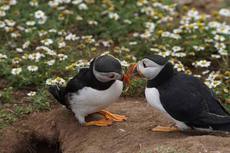 Puffin Skomer Island taken with Sony a6500 and SEL70200G Lens